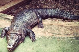 Σοκ στην Ρόδο: Μπήκαν σπίτι του και έπαθαν πλάκα! Οι 5 κροκόδειλοι και τα φίδια!