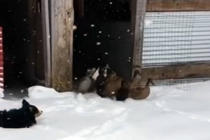 Επικό βίντεο: Πάπιες βγαίνουν για πρώτη φορά στο χιόνι!