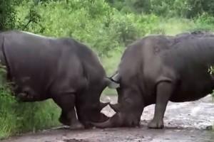 Απίστευτο βίντεο: Μάχη ρινόκερων on camera!