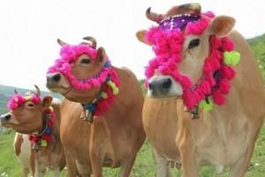 Κι όμως συνέβη! Έφτιαξαν Tinder για...αγελάδες!