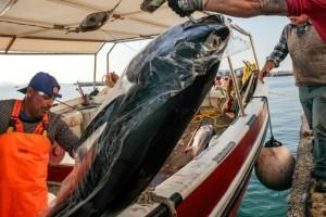 Απίστευτο: Τόνους 300 κιλών έπιασαν ψαράδες στη Νάξο!