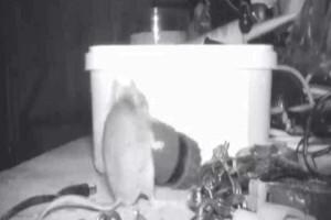 Απίστευτο: Ποντίκι κουβαλάει μεταλλικά αντικείμενα για να καθαρίσει τραπέζι!