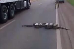 Σοκ στη Βραζιλία: Τεράστιο ανακόντα διασχίζει αυτοκινητόδρομο!