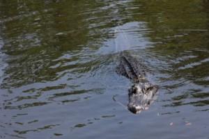Μακάβριο: Κροκόδειλος αναδύεται στην επιφάνεια με ένα ανθρώπινο πόδι στο στόμα! (Video)