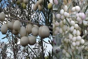 Λευκές ελιές: H σπάνια ποικιλία ελιάς με καταγωγή από τα αρχαία χρόνια!