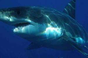 Aυτός ο καρχαρίας έγινε viral στην προσπάθειά του να φάει μια χελώνα!