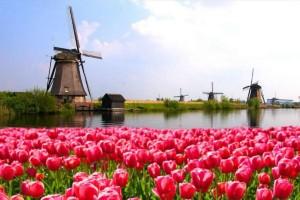 Ολλανδία: Καταστρέφονται οι διάσημες τουλίπες!
