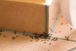 Μυρμήγκια στο σπίτι: 6 φυσικές τεχνικές για να απαλλαγείτε οριστικά!