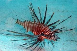 Τεράστια προσοχή: Δηλητηριώδες ψάρι στις ελληνικές θάλασσες!
