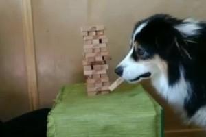 Αυτός ο σκύλος παίζει Jenga και τρελαίνει στο διαδίκτυο!