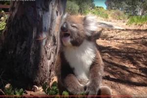 Κοάλα εκδιώχνεται από δέντρο και...κλαίει! (Video)