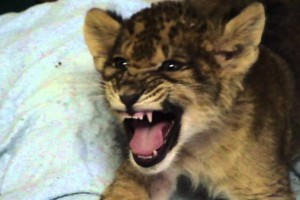 Λιονταράκι προσπαθεί να βρυχηθεί αλλά...νιαουρίζει! (Video)