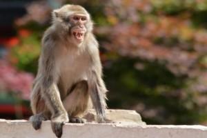 Σοκαριστικό: Μαϊμού σκότωσε βρέφος για να του πάρει το γάλα!