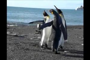 """Απίστευτο: Πιγκουίνοι παίζουν """"ξύλο"""" με τα φτερά τους! (Video)"""