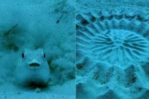 Ψάρι ζωγραφίζει για να προσελκύσει το ταίρι του σε ένα υπέροχο βίντεο! Τα θηλυκά ψάρια μάλιστα, γεννούν τα αυγά τους στο κέντρο του κύκλου!