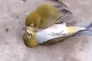Αυτό σημαίνει αληθινή αγάπη. Το πτηνό που πεθαίνει όταν πεθάνει ο σύντροφος του!