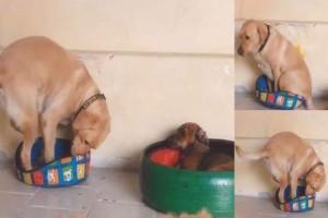 Λυπημένος σκύλος προσπαθεί να μπει σε κρεβάτι που δεν χωράει! (Video)