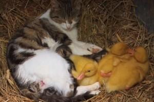 Απίστευτο: Γάτα υιοθετεί...παπάκια! (Video)