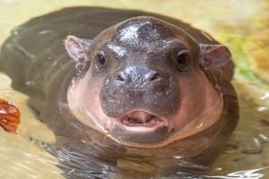 Τέλειο: Μωρό ιπποπόταμος προσπαθεί να κολυμπήσει! (Video)