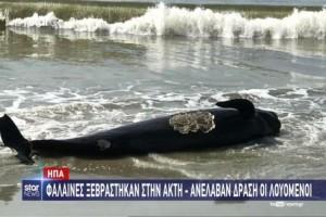 Απίστευτο: Φάλαινες ξεβράστηκαν στην ακτή και ανέλαβαν δράση οι λουόμενοι! (Video)