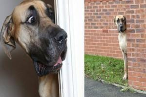 Ο γίγαντας σκύλος των 80 κιλών έχει ύψος 1,80 και φοβάται… τα πάντα!