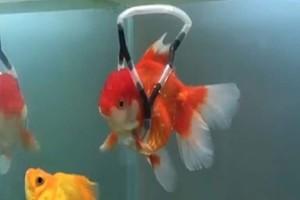 Έφτιαξε «αναπηρικό καροτσάκι» στο χρυσόψαρο του γιατί δεν μπορούσε να κολυμπήσει! (Video)