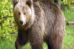 Ρωσία: 5χρονο κορίτσι χάθηκε σε δάσος με αρκούδες!