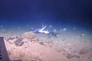 Αυτό δεν το περιμέναμε: Τεράστιος ροφός κατάπιε ολόκληρο καρχαρία!