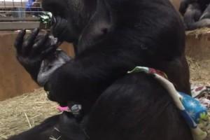 Μαμά γορίλας δεν μπορεί να σταματήσει να φιλά το νεογέννητο γοριλάκι της!