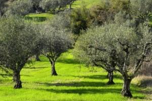 Γιατί σε λίγα χρόνια δεν θα έχουμε ελιές στην Ελλάδα;