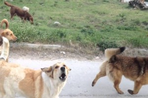 Ακόμα μια επίθεση από αδέσποτους σκύλους έγινε στην Λαμία!