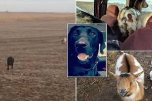 Σκύλος που χάθηκε πριν ένα μήνα, επέστρεψε στο σπίτι του μαζί με μια κατσίκα και ακόμη έναν σκύλο!