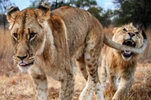 Λιοντάρι αρσενικό δαγκώνει την ουρά της αδερφής του. Θα σας κοπεί η ανάσα μόλις δείτε τι ακολούθησε...
