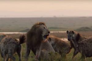 Ανατριχιαστικό: Λιοντάρι περικυκλώνεται από 20 ύαινες! Τότε συμβαίνει το απίστευτο (video)