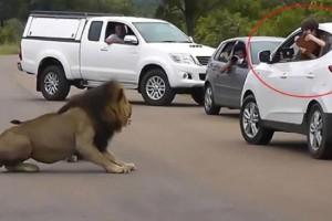 Λιοντάρι: Παιδάκι βγαίνει από το παράθυρο του αυτοκινήτου για να το βγάλει φωτογραφία. Λίγο μετά γίνεται κάτι τρομακτικό...