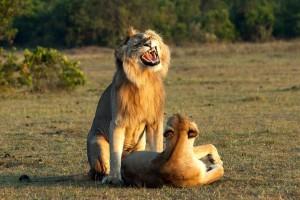 Έπος: Η απίστευτη γκριμάτσα του λιονταριού όταν το ''κάνει''με την λιονταρίνα!