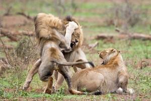 Δύο αρσενικά λιοντάρια μάχονται για μια... γυναίκα! Δεν φαντάζεστε τι συμβαίνει μετά!