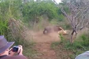 Λιοντάρι μονομάχησε με γκνου. Νόμιζε ότι η νίκη ήταν εύκολη ωστόσο στη συνέχεια...