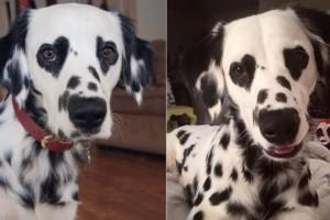 Ο σκύλος δαλματίας με τις καρδιές στα μάτια που έγινε viral! Ό,τι πιο ωραίο είδαμε σήμερα!
