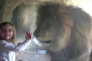 Αυτό το κορίτσι αποφάσισε να στείλει ένα φιλί στο λιοντάρι. Αυτό που ακολουθεί έκανε τον πατέρα της να...