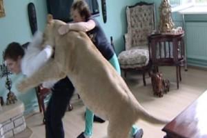Είχε για κατοικίδιο λιοντάρι μέχρι που πήγε να τον φάει ζωντανό.. μπροστά στη μάνα του! (Video)