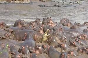 Ένας κροκόδειλος τα «βάζει» με 30 ιπποπόταμους! Η συνέχεια σοκάρει... (Video)