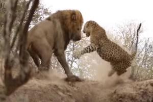 Θρίλερ: Λιοντάρι μονομαχεί με λεοπάρδη! Ποιος κερδίζει; Ο απόλυτος δολοφόνος ή ο απόλυτος μαχητής;