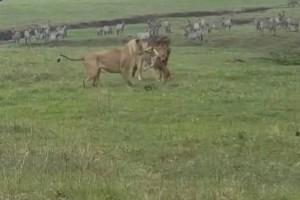Μάγκας σκύλος τα βάζει με 2 λιοντάρια! Το τελικό αποτέλεσμα; Θα σας παγώσει!
