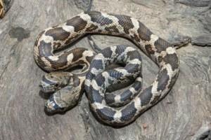 Αδιανόητο: Βρέθηκε δικέφαλο φίδι!