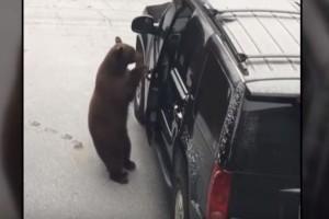 Τρόμος: Αρκούδα ανοίγει την πόρτα του SUV! Λίγο μετά... συμβαίνει κάτι απίστευτο! (Video)