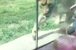 """Το λιοντάρι της φωτογραφίας πάει να αρπάξει το παιδί. Αυτό που συμβαίνει στη συνέχεια μας """"πάγωσε""""!"""