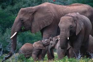 Μείναμε άφωνοι: Δείτε για πρώτη φορά το πέος ενός ελέφαντα!