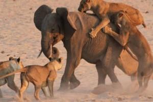 14 λιοντάρια πετυχαίνουν έναν μικρό ελέφαντα! Η συνέχεια; Θα σας αφήσει άφωνους!
