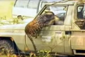 Λεοπάρδαλη επιτίθεται σε οδηγό αυτοκινήτου και γίνεται χαμός...Το βίντεο σοκάρει! (Video)